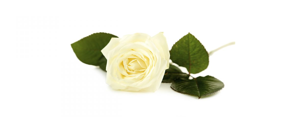 single white rose on a white background