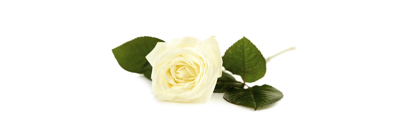 single white rose on a white background